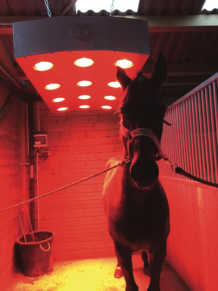 Cheval sous un solarium après une séance d'équitation
