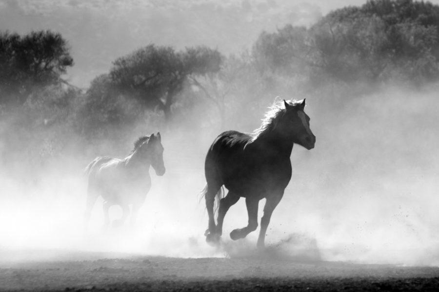 Deux chevaux qui galopent en liberté