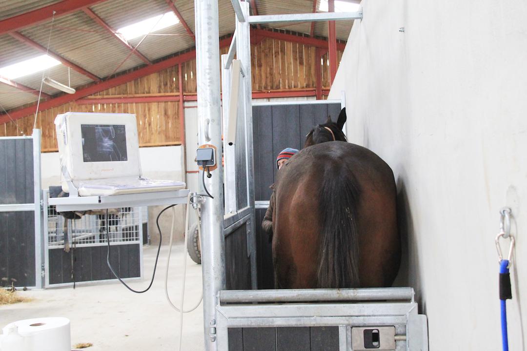 Jument dans une stalle d'échographie